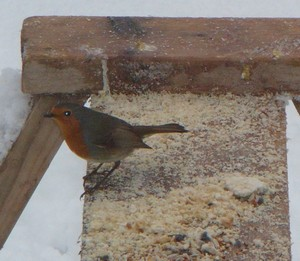 A robin turns up at Chez Green for some breakfast